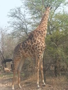 This giraffe was so close we could almost touch it . Marloth Park, Giraffe, The Good Place, Touch, Places, Animals, Animales, Animaux, Giraffes