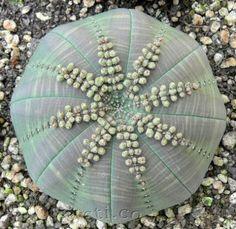 Euphorbia symmetrica                                                                                                                                                                                 More