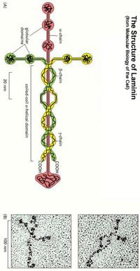 Laminin molecule is the protein that holds human beings together. Laminin - the glycoprotein that holds together every cell in your body.Louie Giglio has an amazing video about laminin.