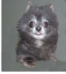 Blue is an adoptable Pomeranian Dog in Allegan, MI. Blue is a 4 and half pound 3 year old, Very small. He is a retired breeder, very friendly and nice. He should not be with larger dogs, dogs of the a...He is gorgeous