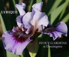 Iris LYRIQUE | Stout Gardens at Dancingtree