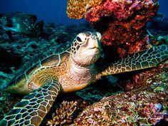 Pawikan (Philippine Sea Turtle)