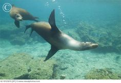 Playing with sealions, Galapagos