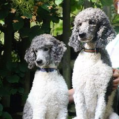 Oodles of Poodles — By @zeno_and_zeus