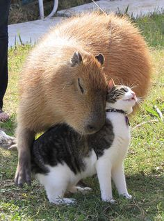 Cat and capybara snuggle up