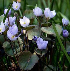 Jeffersonia dubia, shade-loving woodland flower