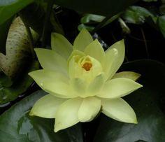 Lily (Pond)