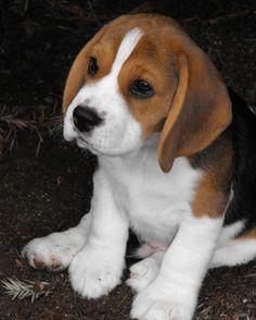 Adorable Beagle.