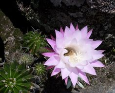 Flora Digital do Rio Grande do Sul e de Santa Catarina: Echinopsis oxygona