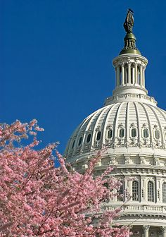 Cherry blossom time at the US Capitol, Washington DC