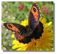 Scotch Argus-e most likely habitats are damp, lush, open grassland on a slope that receives mineral enrichment and is warmed by the full sun-damp,acid soil. Scotch, Habitats, Lush, Scotland, Insects, Flora, Butterfly, Animals, Mineral