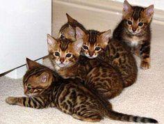 toyger kittens!!