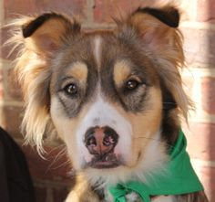 Loki is an adoptable Australian Shepherd Dog in Charlotte, NC. Loki is a happy boy who almost never barks. He goes right in his crate, gets along well with small and large dogs, and is house trained. ...