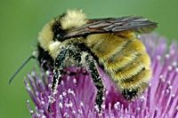 Attracting Bees To The Vegetable Garden