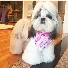Das wird Sindy! Cute Animals Puppies, Fluffy Animals, Cute Funny Animals, Cute Puppies, Perro Shih Tzu, Shih Tzu Puppy, Shih Tzus, Corte Shitzu, Shih Tzu Hair Styles