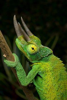 Jackson Chameleon | jackson s chameleon three horned chameleon chamaeleo jacksonii ...