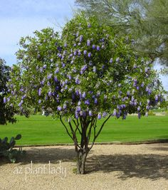 Texas Mountain Laurel (Sophora secundiflora)  Hardy and heat tolerant in Phoenix, this Southwestern native evergreen shrub or smal tree is slow growing to 15 ft. tall, making good border shrubs or patio trees. The wisteria like violet flowers of the Sophora are grape bubblegum scented and bloom early April in Phoenix.