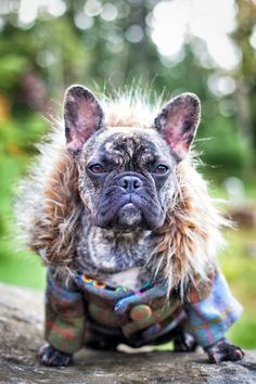 Frenchie in a Jacket by Julie Clegg, via 500px