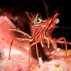 Durban dancing shrimp. We love the little critters just as much as the big stuff! #loves_underwater #littlecritters #tourtheocean #uwphotography #ourplanetisbeautiful #ourlonelyplanet #marinelife #scubafish_ #water_of_our_world #bg_underwater #underwatershots #underwaterlove