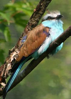 Racquet-tailed Roller by Dailyville