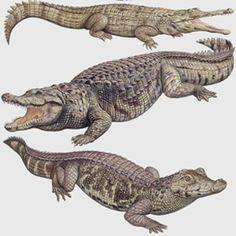 Alligatoridae and Crocodylidae :)