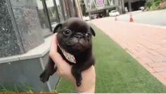 Pug GIF - Pug - Discover & Share GIFs