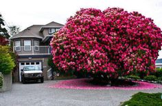 Rhododrendon Tree