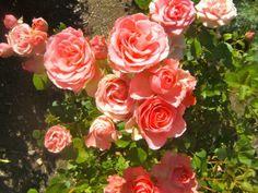 6 consejos para tener rosas saludables