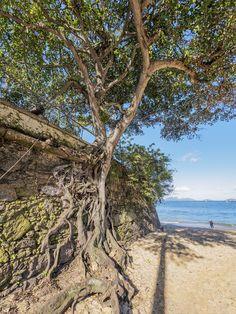 https://flic.kr/p/M8bygK | Árvore antiga | Na Paia Vermelha, Urca.  Rio de Janeiro, Brasil. Tenha um belo dia. :-)  _________________________________________________  Old Tree  At Red Beach, Urca neighborhood.  Rio de Janeiro, Brazil. Have a great day. :-)  _________________________________________________  Buy my photos at / Compre minhas fotos na Getty Images  To direct contact me / Para me contactar diretamente: lmsmartins@msn.com