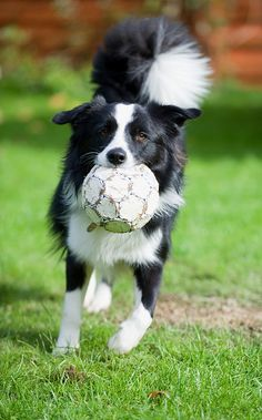 Border Collie playing ball. Have to keep these guys busy! I saw one at my little sister's soccer game, and it played a bit of soccer! Sooooo cute!