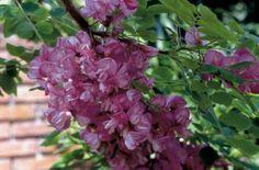 Robinia margaretta 'Casque Rouge'