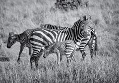 Zebras, Kenya ,Monochrome  by Gail Beerman