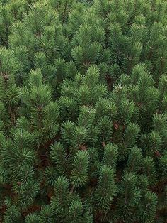 Mugo Pine -  Thick branches form the evergreen 'Mops' mugo pine, which bear dark green needles and brown cones, into appealing round shapes up to 3 feet tall and 3 feet wide that resemble clouds when planted in groups. 'Mops' grows best in a sunny position with well-drained soil, and suits a rock garden or large container.