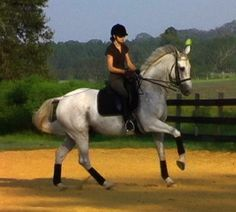 Lord Potter is a handsome, 17 hand Hanoverian gelding by Londonderry out of a Hill Hawk mare.