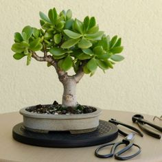 4 Steps To Prune The Perfect Jade Bonsai - Jade Plant Bonsai Jade Bonsai, Succulent Bonsai, Succulent Gardening, Bonsai Garden, Planting Succulents, Container Gardening, Planting Flowers, Jade Succulent, Jade Plant Pruning