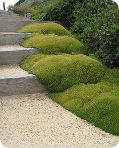 Groundcover Landscaping Ltd | SCLERANTHUS BIFLORUS