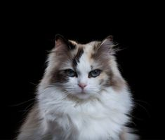 The Ragdoll cat was created by breeder Ann Baker, and is characterized by their blue eyes, long fluffy coat, and facial coloring. They are named for their tendency to go limp, like a ragdoll, when picked up. #fluffycatsbreedsblueeyes #ragdollcatcolors