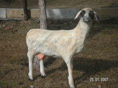 Koyun Heykeli Goats, Horses, Animals, Animales, Animaux, Animal, Animais, Horse, Goat