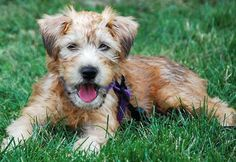 Ollie the Wheaten Terrier