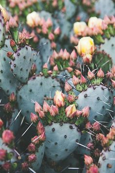 pretty blooming cacti