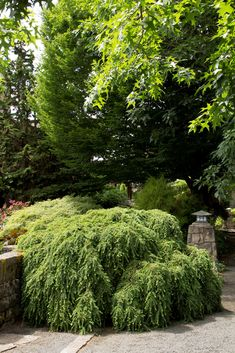 Sargent's Weeping Hemlock - Monrovia - Tsuga canadensis 'sargentii'. Zone 4-8. Thrives in full sun to full shade. Evergreen. Moderate grower to 5' tall and 10' wide at 10 yrs. Larger with age. Needs regular watering.