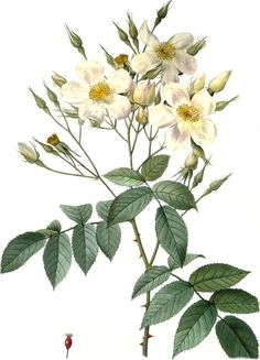 Rosa moschata - Old botanical plate by Pierre-Joseph Redouté (1759 - 1840)