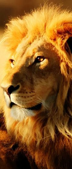 245 Best Lion Of The Tribe Of Judah Images Wild Animals Big Cats