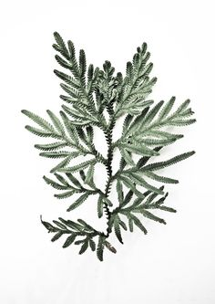 Selaginella Plana