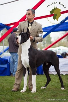"""See our site for additional information on """"great dane puppies"""". It is an excellent area to read more. Blue Merle Great Dane, Merle Great Danes, Huge Dogs, Giant Dogs, Mantle Great Dane, Great Dane Facts, Great Dane Temperament, Dog Spay, Most Beautiful Dogs"""