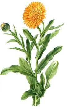 marigold/calendula