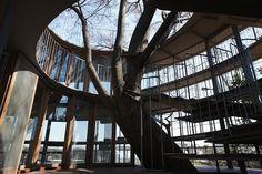 Fuji Kindergarten in Japan Built Around Giant Tree
