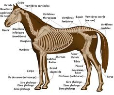 The skeleton of the horse Anatomie cheval - Art Of Equitation My Future Job, Animal Skeletons, Horse Anatomy, Free Horses, Horse Costumes, Horse Training, Zebras, Equestrian, Medicine