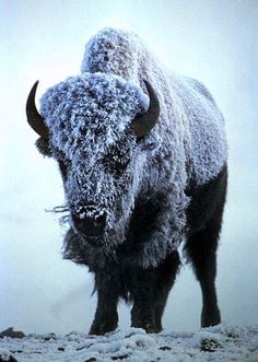 Royalty-free sepia toned animal stock photo of a buffalo holding strong in foggy, snowy and frosty weather. You can see the frost coating his fur. Picture of a Buffalo Bison in Fog, Frost and Snow. Animal Bufalo, Beautiful Creatures, Animals Beautiful, Buffalo S, Buffalo Animal, Animals And Pets, Cute Animals, Animals Planet, Photo Animaliere