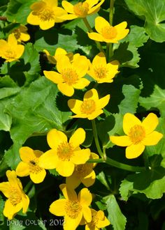 Marsh Marigold (Caltha palustris) • Family: Buttercup • Habitat: wet areas • Height: 6-12 inches • Flower size: 2-1/2 inches across • Flower color: yellow • Flowering time: May to June • Photo by Doug Colter